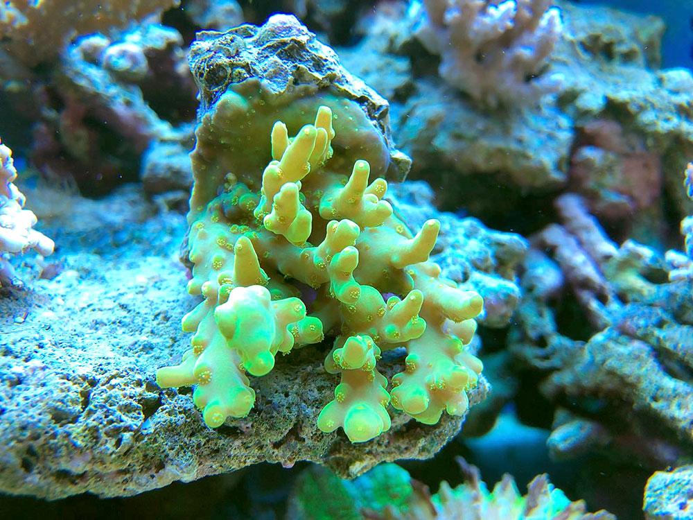 Corallo Acropora