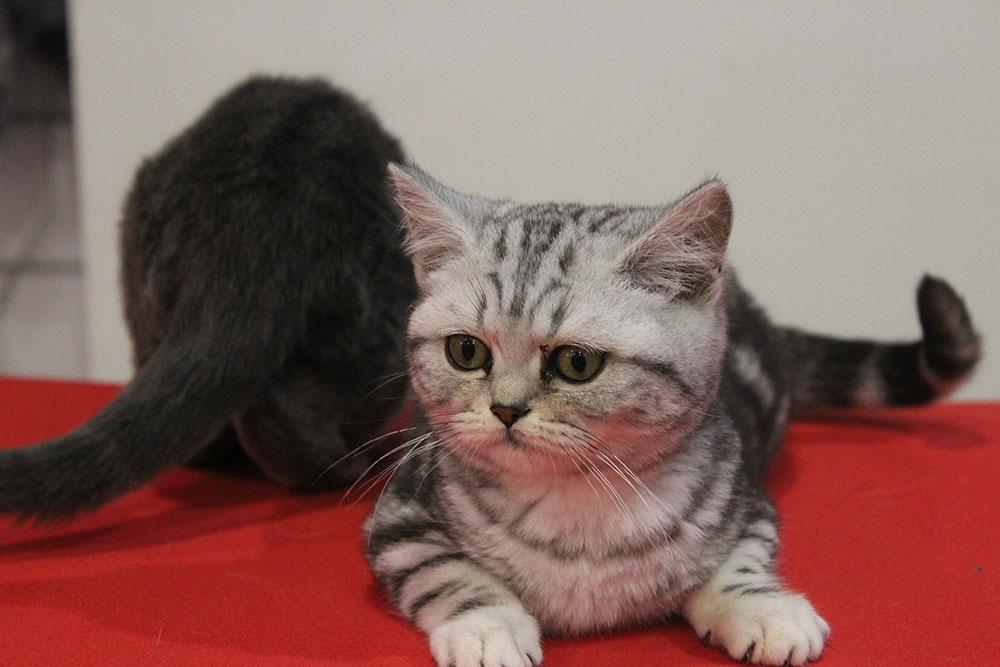 Gatto Zoomiguana